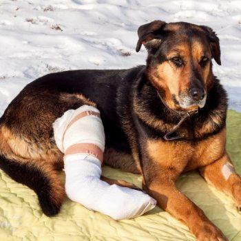 تصویر از درمان لنگش ، دررفتگی و شکستگی دست و پای سگ در شیراز
