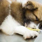 درمان پاروا ویروس سگ شیراز