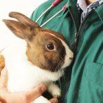 عقیم سازی خرگوش یزد