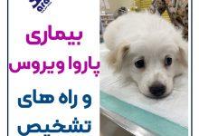 تصویر از بیماری پاروا ویروس سگ : راه های تشخیص + انتقال و درمان