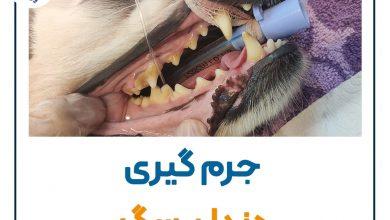 تصویر از جرم گیری دندان سگ و گربه + مراحل جرم گیری  🐶 🐱