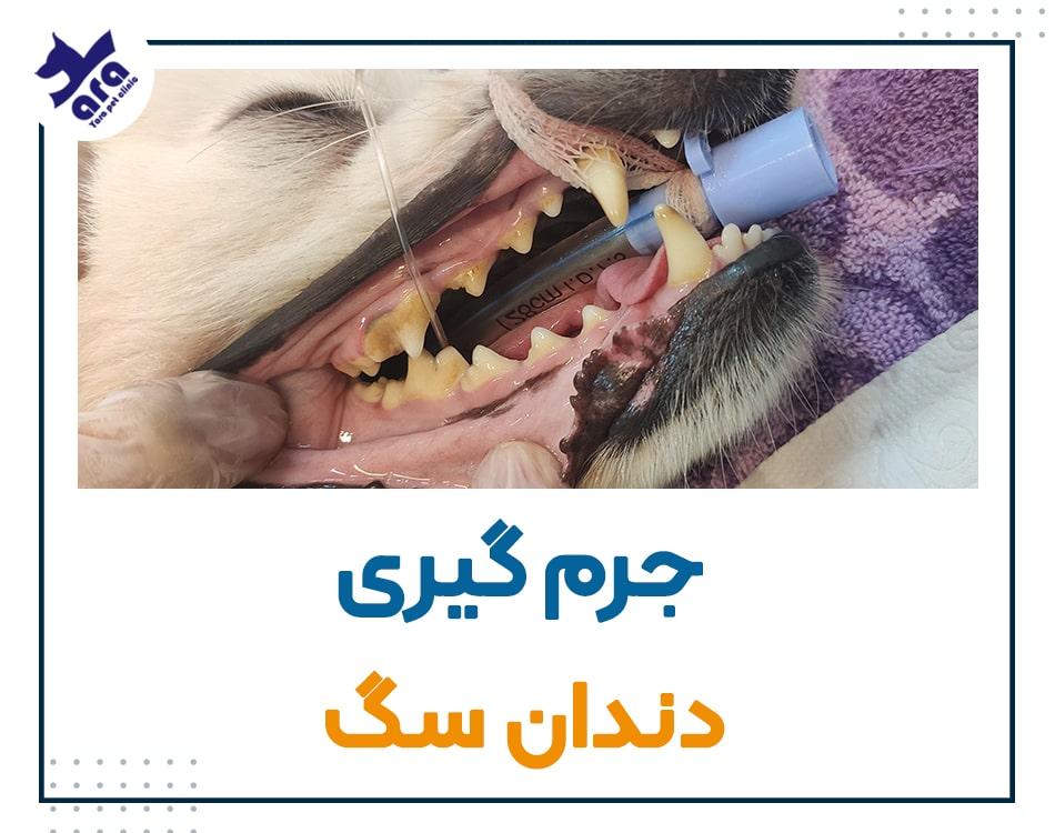 جرم گیری دندان سگ