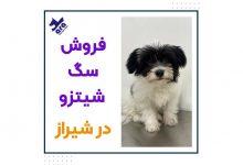تصویر از فروش سگ شیتزو در شیراز + واگذاری توله شیتزو 🐾