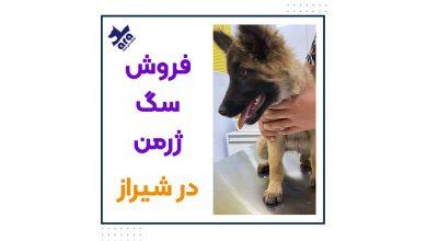 تصویر از فروش توله سگ ژرمن در شیراز 🐾