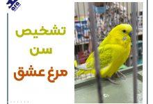 تصویر از تشخیص سن مرغ عشق :۵ روش تشخیص 🐦