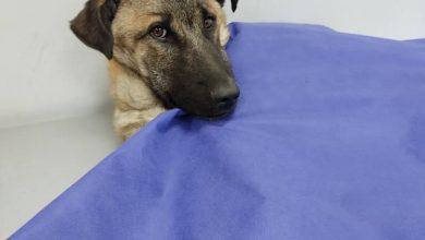 تصویر از درمان بیماری پاروا و اسهال خونی سگ در شیراز