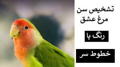 تصویر از تشخیص سن مرغ عشق یا باجی : رنگ پا + خطوط سر