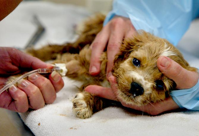 Photo of پاروا ویروس سگ ، علایم تشخیص انتقال