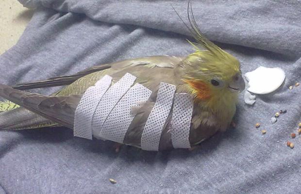 تصویر از درمان شکستگی بال پرندگان در شیراز – درمان شکستن بال طوطی کبوتر قناری مرغ مینا عروس هلندی کاسکو سهره شاهین بلبل کفتر اردک عقاب