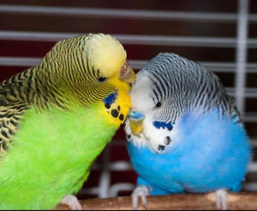 تصویر از نحوه تشخیص مرغ عشق نر از ماده