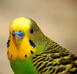 تشخیص سن مرغ عشق یا باجی