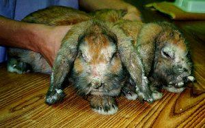 سارکوپتس خرگوش زمان درگیری