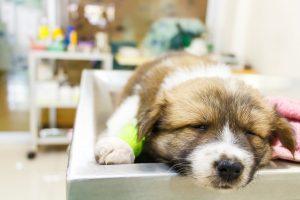 پاروو ویروس سگ
