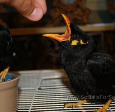 تصویر از غذای مرغ مینا – تغذیه مرغ مینا – جیره غذایی مرغ مینا – نگهداری مرغ مینا – غذای آماده مرغ مینا