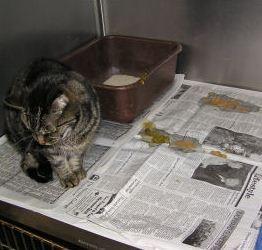 تصویر از علایم و درمان اسهال گربه ها در خانه