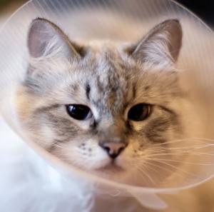 عقیم سازی گربه در شیراز و هزینه ها